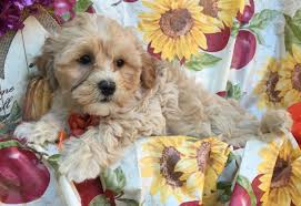 Do F1 Sheepadoodles Shed by Marcus Mini Goldendoodle Puppy For Sale In Conowingo Md