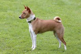 Non Shedding Hypoallergenic Small Dogs by Hypoallergenic Hunting Dogs