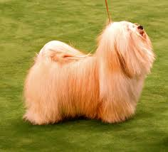 Do All Big Dogs Shed by Havanese Wikipedia