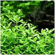 plante milieu plan d aquarium bacopa monnieri compact premium