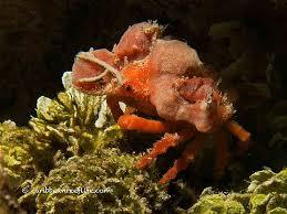 Decorator Crab Tank Mates by Diving The Rock Dunbar Rock