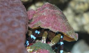 Do Hermit Crabs Shed by 100 Do Hermit Crabs Shed Their Legs Do Crabs Have Brains