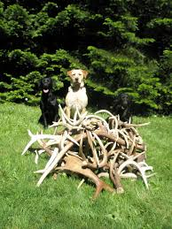 Deer Antler Shed Hunting by North Idaho Shed Antler Dogs Trained Horn Hunting Labrador Retriever