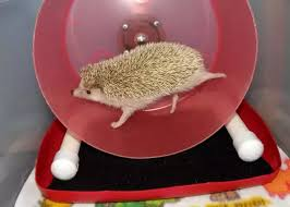 what do i need to know or research before getting a pet hedgehog