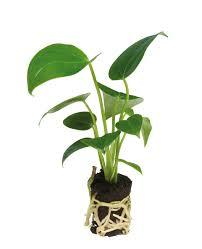 plants anthura