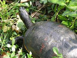Turtle Shell Not Shedding Properly by Do Turtle Shells Peel