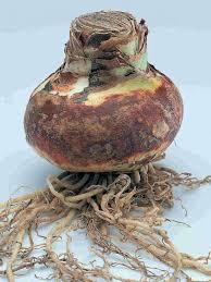 amaryllis bulb amaryllis bulb amaryllis bulb kit gift