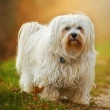 dogs that don t shed 31 hypoallergenic dogs for allergy suffers