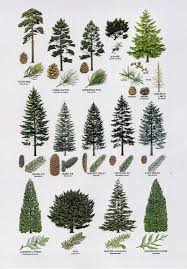 Fresh Christmas Trees Types by 8 Proximity The Elements Different Types Of Trees Are Placed