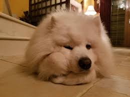Do Samoyed Dogs Shed Hair by My Samoyed Likes To Prop His Head Up Like A Human Mildlyinteresting