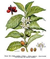 Botanical Illustration Of The Coffee Plant Arabica