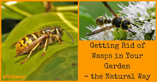 getting rid of wasps in your garden the way kiwimana