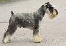 Top Dogs That Dont Shed Hair by What Dogs Shed The Least Hair Best Dog 2017