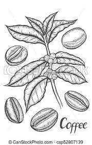 Sketch Of Coffee Branch