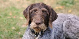 german shorthaired pointer shed german wirehaired pointer information characteristics facts names