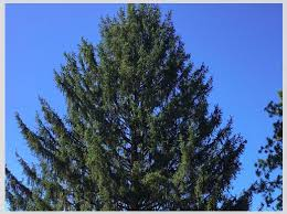 The Rockefeller Center Revealed This Years Tree Will Come From State College Lighting