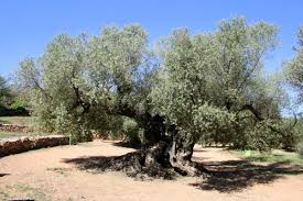 Visiting the World s Oldest Olive Trees An Insider s Spain