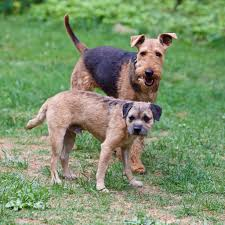 Border Terrier Non Shedding by 3 Year Old Airedale Terrier Juno And 4 Year Old Border Terrier