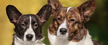 Short Haired Dogs That Shed The Most by 100 Small Dogs That Shed The Most Guard Dogs That Don