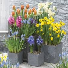 a guide to planting bulbs corms tubers the garden