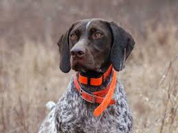 german shorthaired pointer shed guard breeds guard list