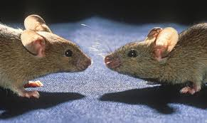 Competing Mice Reveal Genetic Defects | UNews Usda Studying Iowa Rodents For Avian Flu Public Radio Subtle Elegancebarn Owl Canvas Print Art By Catherine Dubuque County Part Of Barn Owl Boom As Orphaned Owlets Find Home J Thaddeus Ozarks Cookie Jars And Other Larks Love These Meeces Deer Mice Mouse Control Rats New York Stock Photos Images Alamy Barn Cat Traing To Hunt Mice Youtube Tyto Alba Family Tytonidae Parent Bird Bring Its Removal Houston Dallas Fworth 911 Wildlife