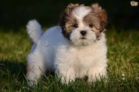 lhasa apso puppy shedding lhasa apso breed information buying advice photos and facts