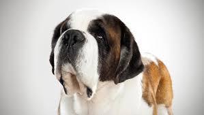 Do Short Haired Saint Bernards Shed by Saint Bernard Dog Breed Selector Animal Planet
