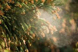 Best Christmas Tree Type For Allergies by Trees Pollen And Allergies