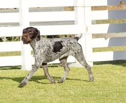 Do Hungarian Wirehaired Vizslas Shed by German Wirehaired Pointer Hereditary Health And Longevity Pets4homes