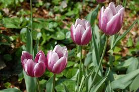 autumn time to plant flowering bulbs indiana yard and