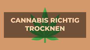 cannabis trocknen so macht es richtig