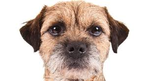 Border Terrier Non Shedding by Border Terrier Dog Breed Information American Kennel Club