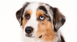 Non Shedding Small Dogs Australia by Miniature American Shepherd Dog Breed Information American