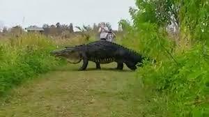 Spirit Halloween Lakeland Fl 2015 by Giant Alligator Spotted In Florida Nature Reserve The Washington