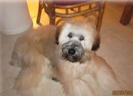 Do Wheaten Terriers Shed by Kaven Ranch Soft Coated Wheaten Terriers