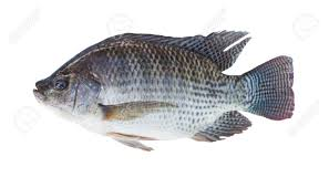Nile Tilapia Fish Isolated On White Background Stock Photo