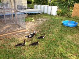 Little Country House: Duck Duck Peahen Pond Makeover Feathers In The Woods Beautiful Backyard Landscape Ideas Completed With Small And Ponds Gone Wrong Episode 2 Part Youtube Diy Garden Interior Design Very Small Outside Water Features And Ponds For Fish Ese Zen Gardens Home 2017 Koi Duck House Exterior And Interior How To Make A Use Duck Pond Fodder Ftilizer Ducks Geese Build Nodig Under 70 Hawk Hill Waterfalls Call Free Estimate Of Duckingham Palace Is Hitable In Disarray Top Fish A Big Care