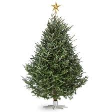 Fraser Christmas Trees Uk by Real Fresh Cut Fraser Firs