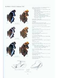 Shed More Light On Synonym by Nymphalidae Part 5 Guide To The Butterflies Of The Palearctic