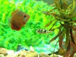 Decorator Crab Tank Mates by Adding Freshwater Invertebrates To Your Tank Pethelpful