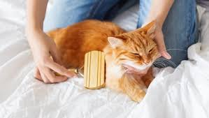 Excessive Hair Shedding In Cats by Spring Shedding What To Do When Your Cat Loses Their Winter Coat