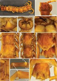 Shed Light On Synonym by A New Cave Centipede From Croatia Eupolybothrus Liburnicus Sp N