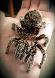 Do Tarantulas Shed Their Legs by Why Do People Keep Tarantulas Archive Rat Forum