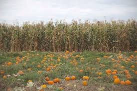 Portland Pumpkin Patch Corn Maze by Annual Pumpkin Patch Trip Belletriste