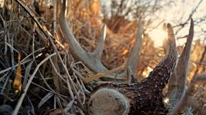 Shed Hunting Utah 2017 by Shed Hunting The South Versus The Midwest Bone Collector