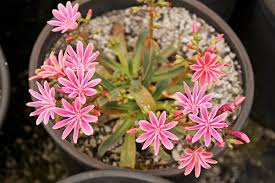 Lewisia With Bright Pink Flowers At Rare Plant Research In Oregon