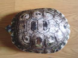 Turtle Shell Not Shedding by Turt Shell Cond F9