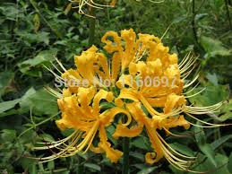 free shipping flower bulbs yellow lycoris blubs 2pcs spider
