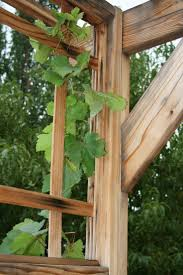 39 Best Growing Grapes Images On Pinterest | Grape Vines, Growing ... Small Plot Intensive Gardening Tomahawk Permaculture Backyard Vineyard Winery Grapes In Your Own Backyard Lifestyle Bucks County Courier More About The Regent Winegrape Growing Your Grimms Gardens Trellis With In The Yard At Home How To Grow Grapes Steemit Seedless Stark Bros Grape Orchards Pinterest Orchards Seattle Wa Youtube Grown Grape Vine And Trellis Stock Photo Royalty First Years Goal